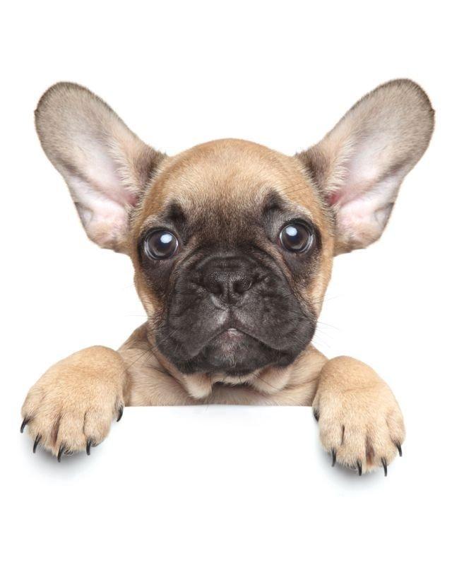 Deka mikroflanel digitálna tlač Puppy Bulldog 120/150