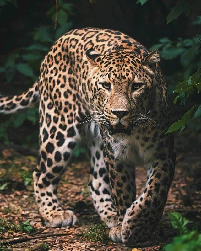 Deka mikroflanel digitálna tlač Leopard green 120/150